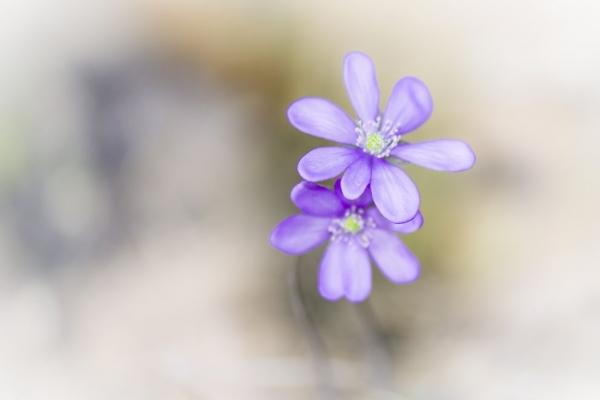 fiore_primavera